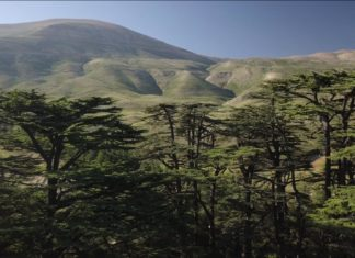 the cedar green trees with the mountains